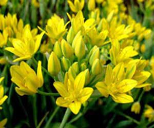 Alliums: ajuinen